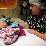 Dr. Wold examining baby kangaroo!