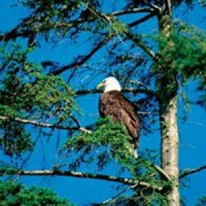 Great Alaska Tree Cutting
