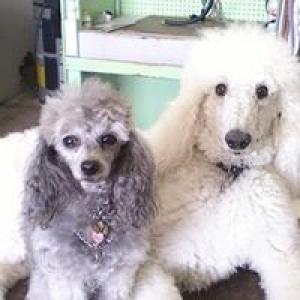 Art's Poodle Grooming