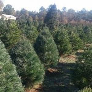 B & D Christmas Tree Farm