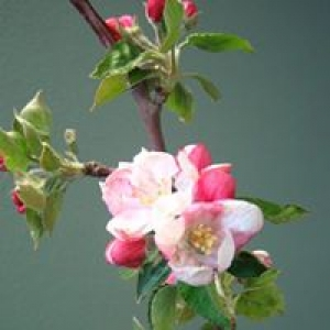 Apple Blossom Therapeutic Massage