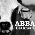 American Brahman Breeders