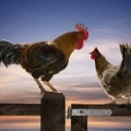 Organic Chicken Feed for Sale at Wholesale Prices